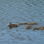 """Family of ducks visit to check out the """"strange new birds"""""""