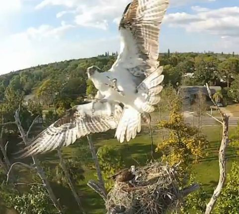 Osprey attacks quadcopter!