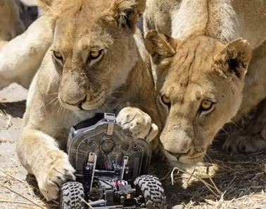 African Lions Meet RC